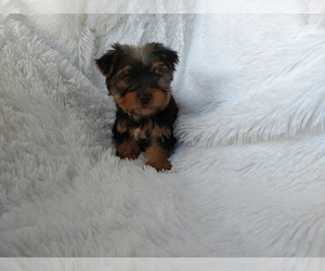 Yorkshire Terrier Puppy for sale in DOUGLAS, GA, USA