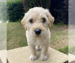 Small Photo #2 Labradoodle Puppy For Sale in CHELSEA, AL, USA