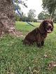 Boykin Spaniel Puppy For Sale in HAWKINSVILLE, GA, USA