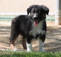 Australian Shepherd Puppy For Sale in LAS VEGAS, NV, USA