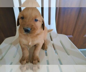 Golden Retriever Puppy for sale in DAYTON, OH, USA