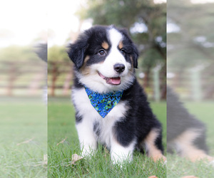 Miniature American Shepherd Puppy for Sale in NEW BRAUNFELS, Texas USA