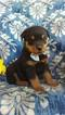 Bear the Rottweiler