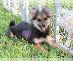 Pomeranian Dog for Adoption in ELKLAND, Missouri USA