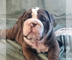 English Bulldog Puppy for sale in BOSTON, MA, USA