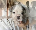 Puppy 4 English Bulldog