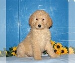 Small Goldendoodle-Poodle (Standard) Mix