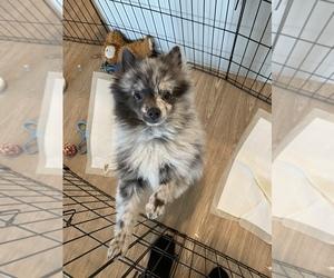 Pomeranian Puppy for sale in ARLINGTON, VA, USA