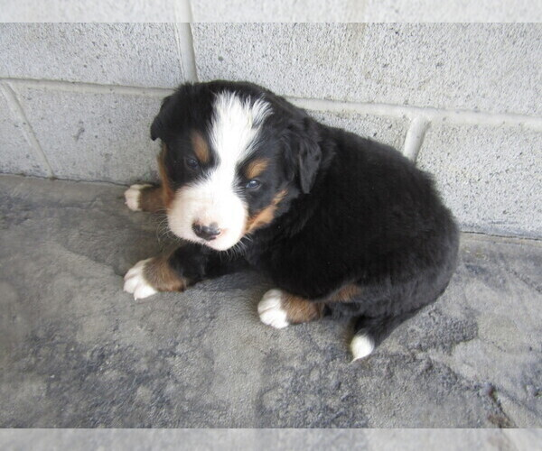 Puppyfindercom View Ad Photo 9 Of Listing Bernese
