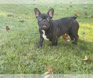 French Bulldog Puppy for Sale in MABLETON, Georgia USA