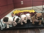 English Bulldog Puppy For Sale in VICTORVILLE, CA, USA