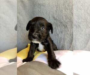 Schnauzer (Miniature) Puppy for sale in RIVERSIDE, AL, USA