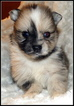 Pomeranian Puppy For Sale in STATHAM, GA