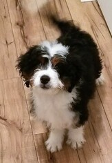 Miniature Bernedoodle Puppy for sale in BELLVILLE, OH, USA