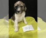 Puppy 7 Saint Berdoodle