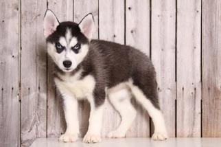 siberian husky for sale in ohio