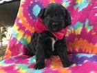 Aussiedoodle-Unknown Mix Puppy For Sale in COLORA, MD, USA