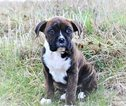 Boxer Puppy For Sale in CUMBERLAND, RI, USA