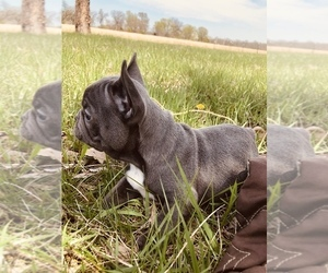 French Bulldog Puppy for Sale in PECULIAR, Missouri USA