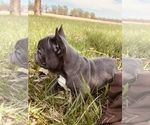 French Bulldog Puppy For Sale in PECULIAR, MO, USA