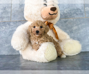 Poochon Puppy for Sale in CLEVELAND, North Carolina USA