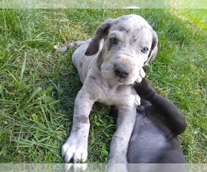 Great Dane Puppy for sale in HILLS AND DALES, IN, USA
