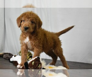 Labradoodle Puppy for sale in FLORESVILLE, TX, USA