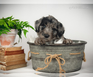 Bordoodle Puppy for Sale in STRAFFORD, Missouri USA