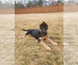 German Shepherd Dog Puppy for Sale in LITHIA SPGS, Georgia USA