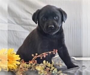 Labrador Retriever Puppy for sale in BUCKINGHAM, VA, USA