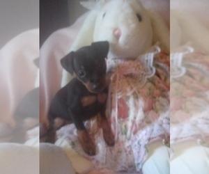 Miniature Pinscher Puppy for sale in THREE RIVERS, MI, USA