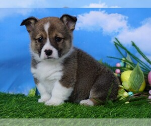 Pembroke Welsh Corgi Puppy for sale in FREDERICKSBG, OH, USA