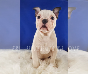 French Bulldog Puppy for Sale in PORT READING, New Jersey USA