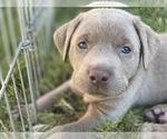 Small Photo #1 Labrador Retriever Puppy For Sale in BULVERDE, TX, USA