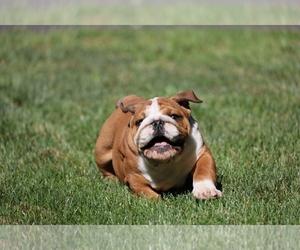 Bulldog Puppy for Sale in BETHEL, Pennsylvania USA
