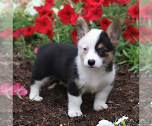 Pembroke Welsh Corgi Dog for Adoption in BUCK, Pennsylvania USA