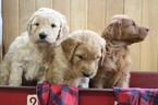 Goldendoodle Puppy For Sale in DALLAS, WI, USA