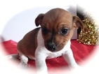 Jack Russell Terrier Puppy For Sale in CHICAGO, IL