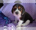 Small #20 Beagle