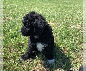 Portuguese Water Dog Puppy for Sale in LAKEVIEW, Michigan USA