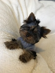 Yorkshire Terrier Puppy For Sale in TACOMA, WA, USA