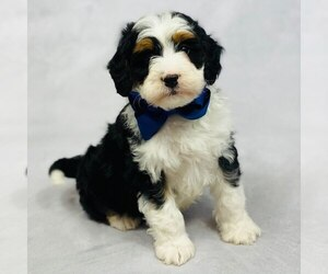 Miniature Bernedoodle Dog for Adoption in ITASCA, Texas USA