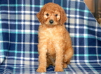 Poodle (Standard) Puppy For Sale in MOUNT JOY, PA,