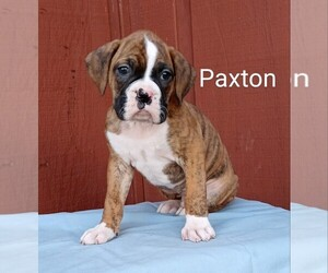 Boxer Puppy for sale in SHREVE, OH, USA