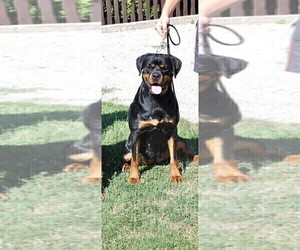 Mother of the Rottweiler puppies born on 10/11/2019