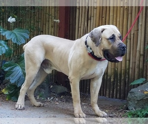 Boerboel Puppy for Sale in LOS GATOS, California USA