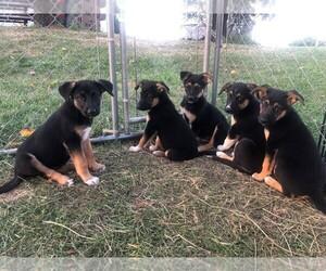 Medium Australian Shepherd-German Shepherd Dog Mix