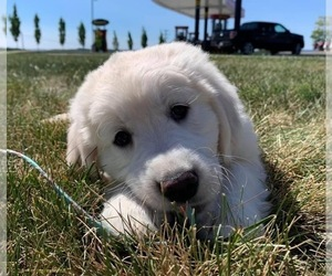 English Cream Golden Retriever Puppy for Sale in ARCHBALD, Pennsylvania USA