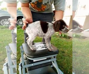 German Wirehaired Pointer Puppy for sale in ISANTI, MN, USA