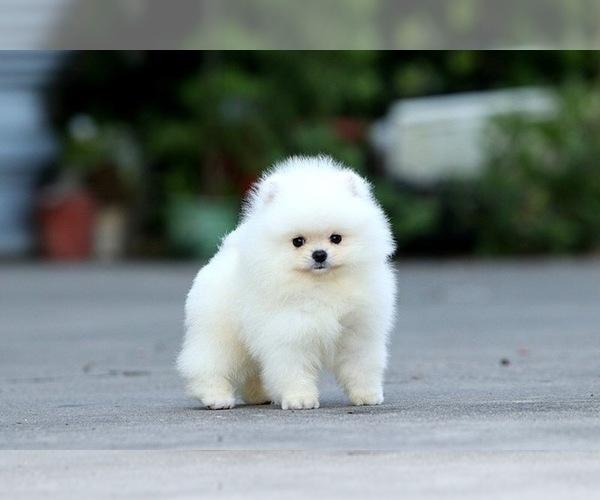 Medium Photo #3 Pomeranian Puppy For Sale in CINCINNATI, OH, USA